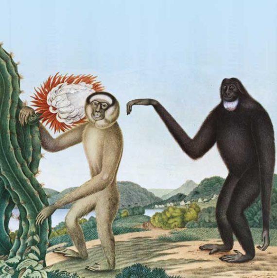 Baston - Primates